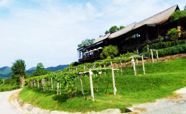 ไร่องุ่นหัวหินฮิลส์ วินยาร์ด Hua Hin Hills Vineyard